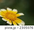 シュンギク 春菊 花の写真 2305076