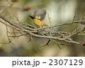 ジョウビタキ 飛ぶ 2307129
