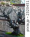 盆栽 古木 梅の写真 2320451