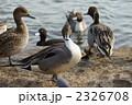 尾長鴨 オナガガモ 水鳥の写真 2326708