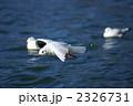 ユリカモメ 鳥 野鳥の写真 2326731