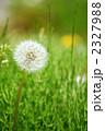 綿帽子 わたげ 植物の写真 2327988