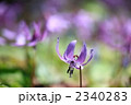 男山自然公園のカタクリ 2340283