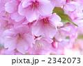 満開の河津桜 2342073