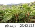 やんばるの森 ヘゴ 熱帯雨林の写真 2342138