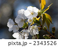 山桜の花のクローズアップ 2343526