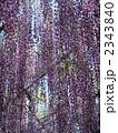 紫色 藤 藤棚の写真 2343840