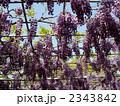 紫色 藤 藤棚の写真 2343842