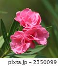 キョウチクトウ 植物 花の写真 2350099