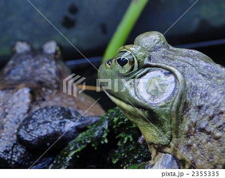 目がハートの蛙 2355335