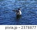 尾長鴨 オナガガモ 野鳥の写真 2378877
