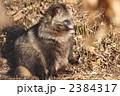 タヌキ ホンドタヌキ 狸の写真 2384317