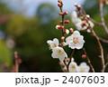 南高梅 梅 梅の花の写真 2407603