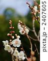 南高梅 梅 梅の花の写真 2407605