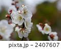 南高梅 ウメの花 梅の花の写真 2407607