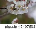 南高梅 ウメの花 梅の花の写真 2407638