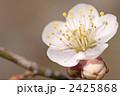 梅の花 梅花 南高梅の写真 2425868