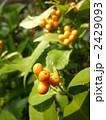 千両 センリョウ 被子植物の写真 2429093