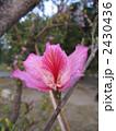 ホンコンオーキッドツリー 2430436