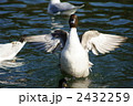 尾長鴨 オナガガモ 野鳥の写真 2432259