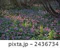 カタクリの花 花 植物の写真 2436734