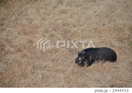 芝生の黒豚 2444553