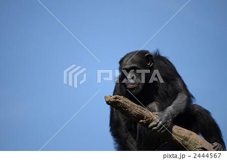 チンパンジー 2444567