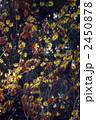 支那満作の黄色い花と枯葉 2450878
