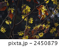 支那満作の黄色い花と枯葉 2450879