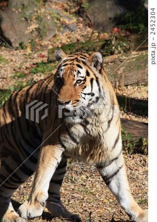 天王寺動物園の虎の写真素材 [2452304] - PIXTA
