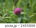 赤クローバー 紫詰草 ムラサキツメクサの写真 2455806