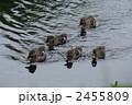 軽鴨 雛 カルガモの写真 2455809