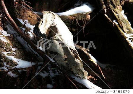 野生動物の骨 2465879