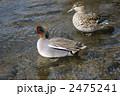 小鴨 水鳥 野鳥の写真 2475241