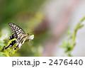 キアゲハ 蝶 アゲハチョウの写真 2476440