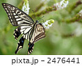 キアゲハ 蝶 アゲハチョウの写真 2476441