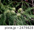 スギ 球果 杉の写真 2479828
