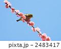 梅 紅梅 メジロの写真 2483417
