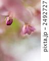 カワヅザクラ 河津桜 蕾の写真 2492727