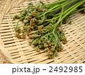 わらび 蕨 ワラビの写真 2492985