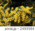 アカシア ミモザアカシア ギンヨウアカシアの写真 2493564