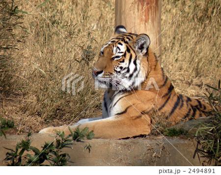虎の写真素材 [2494891] - PIXTA