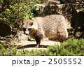 本土狸 ホンドタヌキ タヌキの写真 2505552