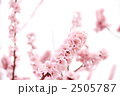 薄桃色の杏の花 3 2505787