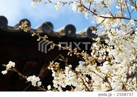 写真素材: 大宝寺の姥桜