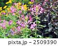 クレオメ 風蝶草 セイヨウフウチョウソウの写真 2509390