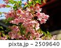 葉桜 カワヅザクラ 河津桜の写真 2509640