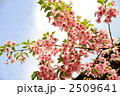 葉桜 カワヅザクラ 河津桜の写真 2509641
