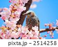 河津桜の枝に佇むヒヨドリ 2514258