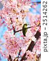 河津桜の蜜を吸うメジロ 2514262